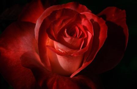 Red-rose-petals-small